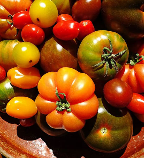 Tomatoes Delicious Seasonal Vegetables